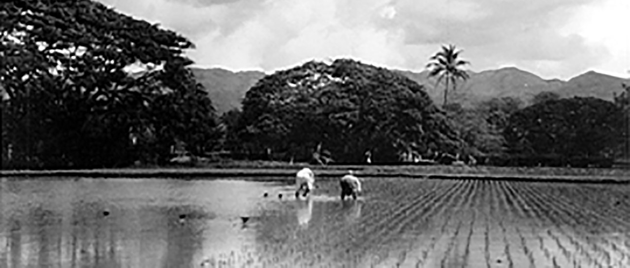 old photo of the hawaiian rice or taro fields